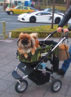 my peke MAMIJIRO 愛犬のペキニーズ・マミジロウ