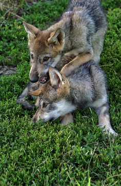 ☀wolf pups ~ By Shari Jardina) fun time! Nature Animals, Baby Animals, Cute Animals, Wolf Pictures, Funny Animal Pictures, Wolf Photos, Beautiful Creatures, Animals Beautiful, Wolf Husky