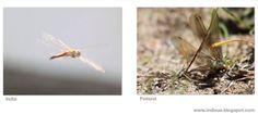 Dragonflies - Sudenkorentoja