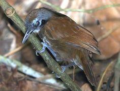 IMG_3066_bicolored antbird | by joel n rosenthal