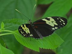 Hecale's Tiger Longwing     Heliconius hecale                © James Laurie