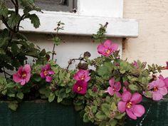 Unknown plant in window box in Garden