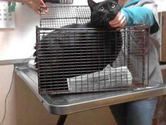 JET is an adoptable Domestic Short Hair Cat in Martinez, CA.  ...