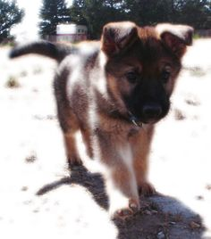 In two years I will once again have my very own East German/ Czech Shepherd!!! I cant wait!!!