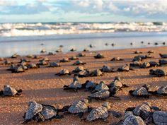 Mais de 36 mil filhotes de tartarugas marinhas foram protegidos na Bahia até…