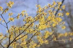 Witch Hazel: Natural Remedy and First Aid Plant | The Old Farmer's Almanac