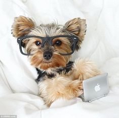 This little dog, relaxing in bed with a little Mac and glasses on, shows no hesitation in posing Little Mac, Little Dogs, Online Pet Supplies, Dog Supplies, Cavapoo Puppies, Havanese, Yorkies, Dog With Glasses, Dog Expressions