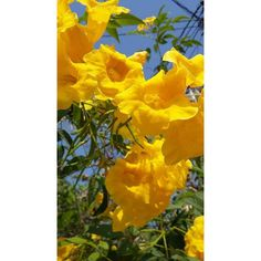 Heirloom Yellow elder seeds, Organic Tropical Flower Fresh 10/50/100... (26.435 IDR) ❤ liked on Polyvore featuring home, outdoors and flower stem