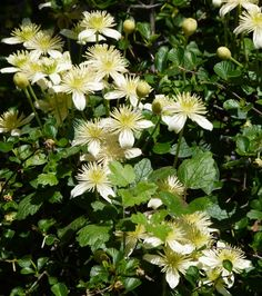 Chaparral Clematis in the California chaparral – Back Yard Plants Country Cottage Garden, Cottage Garden Plants, Backyard Plants, Landscaping Plants, Clematis, Drought Tolerant Grass, Hydrangea Paniculata, California Native Plants, House Ideas