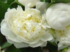 Amazon.com: White Blush Peonies 50 Stem Bunch: Patio, Lawn & Garden
