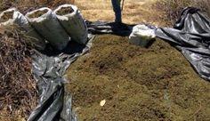 Uma operação conjunta realizada pela Polícia Militar da Bahia (PMBA), Polícia Federal e Polícia Militar de Pernambuco (PMPE) resultou na apreensão e erradicação de mil pés de maconha - total de 260 kg ...