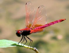 Hot Pink Dragonfly by Ya Ya via Flickr --Saw one just like this by our pond today!