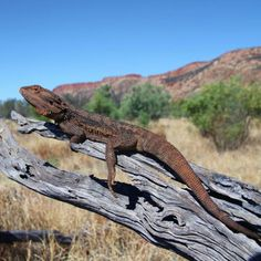 Except for the extreme northern and southern regions, the various Bearded dragons species are virtually distributed all over Australia. Bearded Dragon Cute, Unusual Animals, Australian Animals, Types Of Food, Best Diets, Exotic, Wildlife, Things To Come, Pets