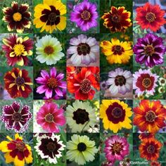 Coreopsis~ A perennial AND annual favorite for rugged long-lasting color that comes in just about every shade, hue, height, and habit you can imagine!