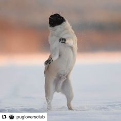 Freedom! from @olsson_mopsen Shop for Pug Lovers #Repost @pugloversclub #gift #ideas #pug #dog #fun #christmas