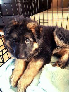 German Shepherd puppy #cheeky #floppyears #longhair                                                                                                                                                                                 More