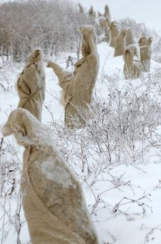 newly planted trees, wrapped for protection - looking like statues in the snow