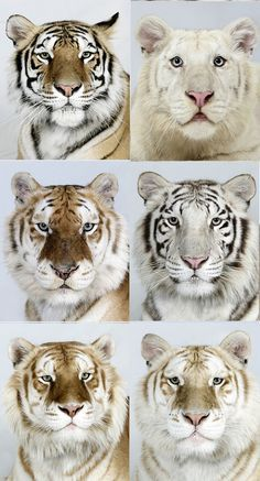 The Different Colors of Beautiful Tigers.