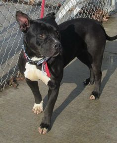 GERTRUDE...FOUND IN CANTON, OHIO...Release date 1/17,  $ 86.00 fee includes license, 4 way shot, Bordetella vaccine, flea treatment if necessary.  Some dogs are also wormed, Heartworm tested.  $50.00 goes to the cost of spay/neuter and rabies. We take cash only, no checks, or credit...