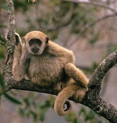"""Northern muriqui - (woolly spider monkey) known locally as """"mono carvoeiro"""" (charcoal monkey), endemic to Paraná, São Paulo, Rio de Janeiro, Espírito Santo and Minas Gerais, Brazil (classified as (EN) Endangered by the IUCN Red List)"""