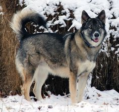 Alaskan Malamute / German Shepherd Mix.