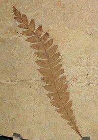 A fossil leaf from the extinct Comptonia columbiana, 48.5 million years old. Klondike Mountain Formation, Republic, Ferry County, Washington, USA. Stonerose Interpretive Center.