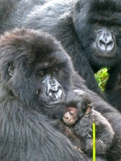 Mountain gorillas in Rwanda. Photo credit: Volcanoes Safaris.  http://www.volcanoessafaris.com    Love mountain gorillas? If you've always dreamed of seeing mountain gorillas in their natural habit, then take a look at Volcanoes Safaris.