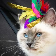 It's the season for carnevals in many places  except for in the cold north and bluepoint Milo  @birmanmilo to have found himself a perfect party hat.  #birmans #birman #sacredbirman #heligbirma #birmania #birmanie #pyhäbirma #instabirmans #birmansofinstagram #blueeyes #whitecats #fluffycats #instacats #catsofinstagram #cats #kittens #instakittens #kittensofinstagram #lovecats #birmavanner #tabbycats #toocute #beautifulcats #excellentcats #tortiecats #cutepetclub #blåmaskad #bluepoint