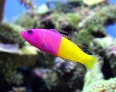 Bicolor Dottyback (He looks like my Royal Gramma - Annilee) - salt water fish tank Saltwater Aquarium Fish, Saltwater Tank, Marine Aquarium, Marine Fish, Marine Tank, Colorful Fish, Tropical Fish, Beautiful Sea Creatures, Salt Water Fish