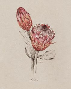 Protea illustration for NZ Home and Garden Magazine by Kelly Thompson .nz - Another! Flor Protea, Protea Art, Protea Flower, Art And Illustration, Floral Illustrations, Art Floral, Motif Floral, Botanical Flowers, Botanical Prints