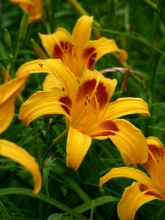 "MIKADO daylily, 1929 – Over the years its bold mango-and-mahogany coloring and graceful star-like form have won it many fans, including the great Elizabeth Lawrence who praised it as one of her ""15 Best."""