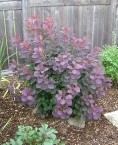 Purple Smoke Bush -goes to my front garden-