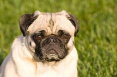 How to Minimize Shedding in Pugs. I need to read this because Lulu does like to shed all over my clothes. I'm not going to forget you, Lulu, I don't need a reminder!
