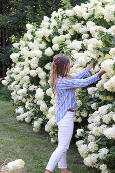 Generally, there are four hydrangea types – Hydrangea mycrophylla, which includes mopheads and lace caps (H. Hydrangea quercifolia, native to … Limelight Hydrangea, Hydrangea Bush, Hydrangea Care, Full Sun Hydrangea, Climbing Hydrangea, Climbing Roses, Hydrangea Landscaping, Front Yard Landscaping, Landscaping Shrubs