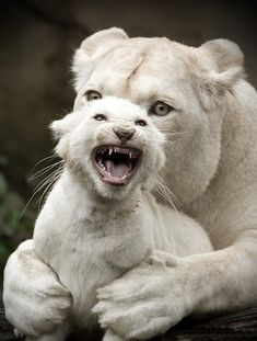 # animals # amazing picture of baby protecting mom even if just from a camera & check the albino lioness & baby very rare .
