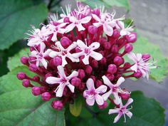 Clerodendrum—Growing Clerodendrum Species Inside: The Clerodendrum bungei is grown for its wonderful flowers and foliage, like many Clerodendrum species.