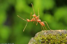 To the dancefloor: Two weaver ants - otherwise known as fire ants - appearing to dance together in Bata, Indonesia back in March
