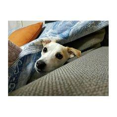 穴を掘って ソファーの敷物の下に潜り込み❤ . かくれんぼ大好きはなちゃん❤ . #はぁちゃん💝 #🐶 #hana #HANA #かくれんぼ #隠れたらすぐ探しに来る #ジャックラッセルテリア #ジャックラッセル #女の子#2才 #京都#Japan#🇯🇵 #PET#jrt #kyoto#pet#愛犬