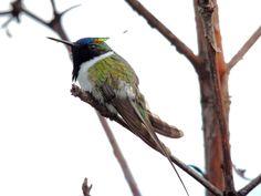Foto chifre-de-ouro (Heliactin bilophus) por Igor Alyson Alencar Oliveira | Wiki Aves - A Enciclopédia das Aves do Brasil