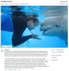 Stella, a two-year-old beluga whale at SeaWorld San Antonio, seen here in a Facebook post, died on Nov. 13, 2015. The cause of death is currently unknown.