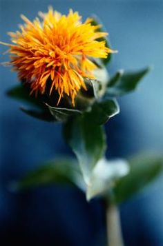 Safflower plants grown commercially produce seeds for oil and birds and feed for livestock. In the backyard garden, safflower plants provide brilliant red, yellow and orange flowers on spiny, ...