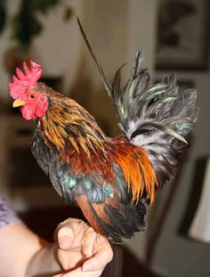 Serama Rooster - smallest breed of chicken - so cute - Eric wants one to keep in the house lol