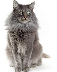 Norwegian Forest Cat - Any color,pattern. Coat long,silky,dense undercoat,waterproof. Head equilateral triangle base of ears to chin. Neck short muscled.  Nose straight. Ears med-large,rounded tip,broad base,set on side of head,heavily tufted. Eyes large,almond,slight angle,outer corner higher. Body large,broad. Hind legs longer. Paws med-large,toe-out,tufting,5 front,4 back. Tail long,bush,body length. Full double coat,thick woolly under,long flowing outer. Tiger,tabby,etc., no points…