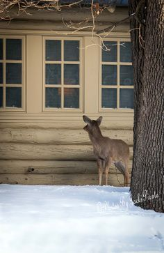 A special morning visitor to a cabin at Starved Rock Lodge...what a great wake up call!