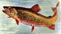 New Jersey State Fish - Brook Trout