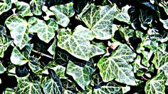 Ivy - the leaves are tasty treats for some types of caterpillars, it provides great cover for birds and the late blooming flowers are perfect for butterflies, bees and moths in the autumn