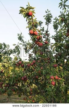 Red Orchard Apples