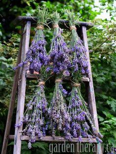 Séchoir à lavandes (ou autres plantes aromatiques, pour infusion...) avec un vieil escabeau en bois chiné dans une brocante.
