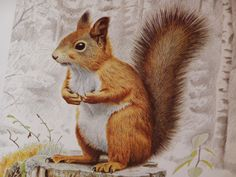 Illustration of a Squirrel by Staffan Ullström 1985 ABBP-076