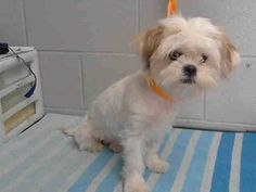 #A475329 Release date 11/8 I am a female, white and tan Shih Tzu. Shelter staff think I am about 8 months old. I have been at the shelter since Nov 02, 2014.  If I am not claimed, after my stray holding period, I may be available for adoption on Nov 08, 2014. ...  City of San Bernardino Animal Control-Shelter. https://www.facebook.com/photo.php?fbid=10203874380397493&set=a.10203202186593068&type=3&theater